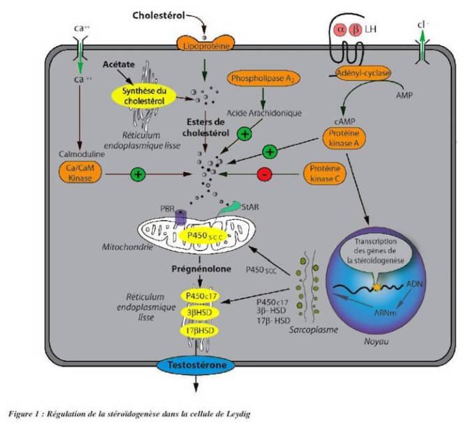 Biosynthese des steroides sexuels dans la cellule de Leydig