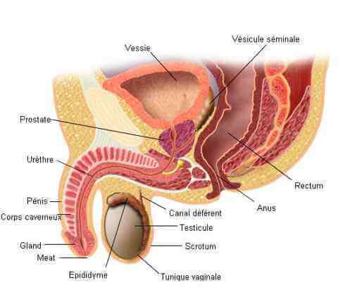anatomie_organes_reproducteurs_homme