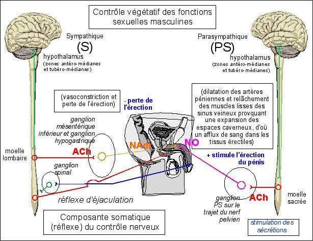 Composantes nerveuses et vegetatives des fonctions sexuelles masculines