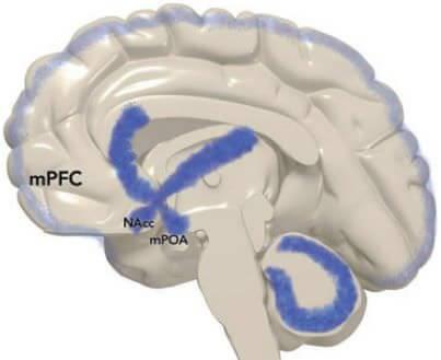 CB1 = cannabinoïdes ; DA = dopamine; NE = noradrénaline; NAcc = noyau accumbens; mPOA = aire préoptique médiane. Pfaus, Pathways of sexual desire. J Sex Med 2009;6:1506-1533