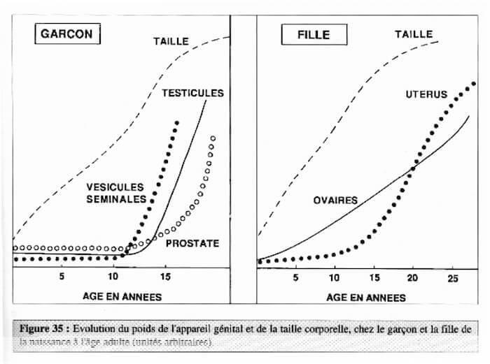 Evolution du poids de l'appareil génital à la puberté
