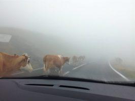 Transfăgărășan_estrada animais