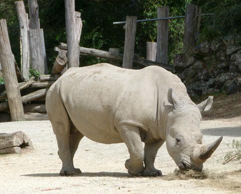 Auckland zoo rhinoceros