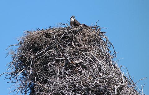 rottnest osprey