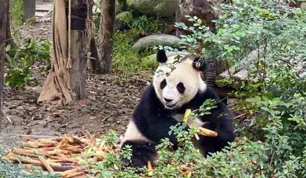 Panda Base China