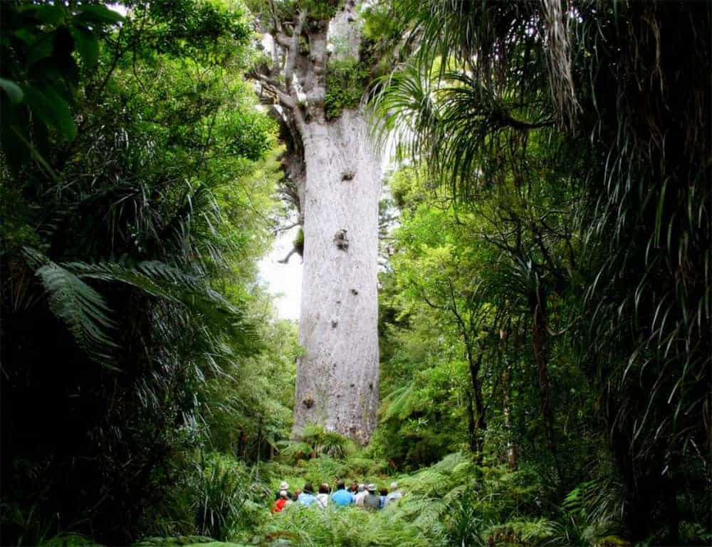 Standing at the foot of Tane Mahuta