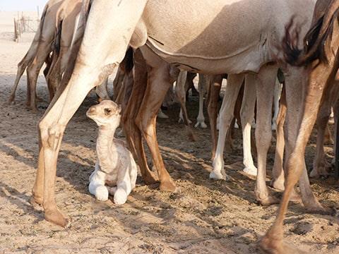 Abu Dhabi baby camel