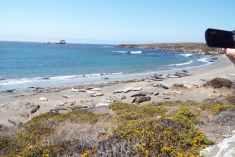 Colony of Elephant Seals