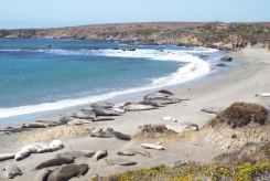 More Colony of Elephant Seals