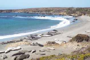 More Colony of Elephant Seals