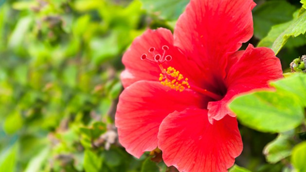 Hibiscus For Hair Fall
