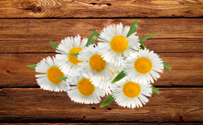 Chamomile for Skin Allergies