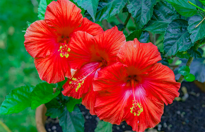 Hibiscus Flowerfor Black Hair Naturally