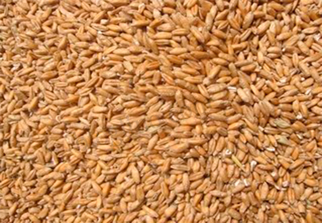 Wheat treatment for Back Pain