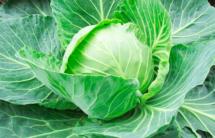 Cabbage Leaves for Bruise