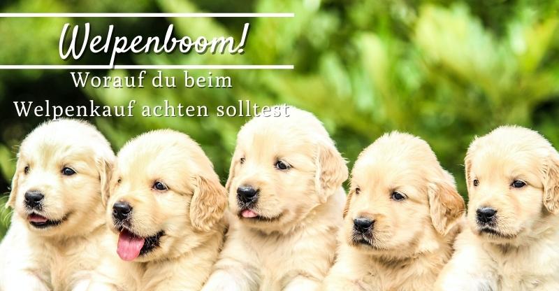 Read more about the article Welpenboom! Worauf du beim Welpenkauf achten solltest