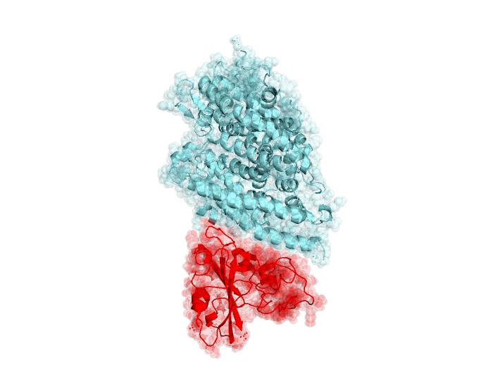 Interazione del SARS-CoV-2 con un Recettore ACE2 Umano