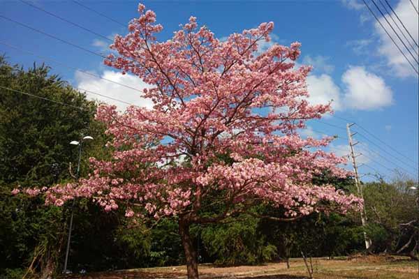 Esse lindo pé de ipê colore nossa Avenida dos Africanos, quem já viu?! A nossa meta para 2017 é deixar São Luís ainda mais verde e florida.