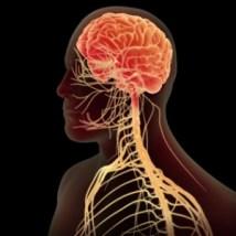 sistema-nervoso-central-1411163644996_300x300