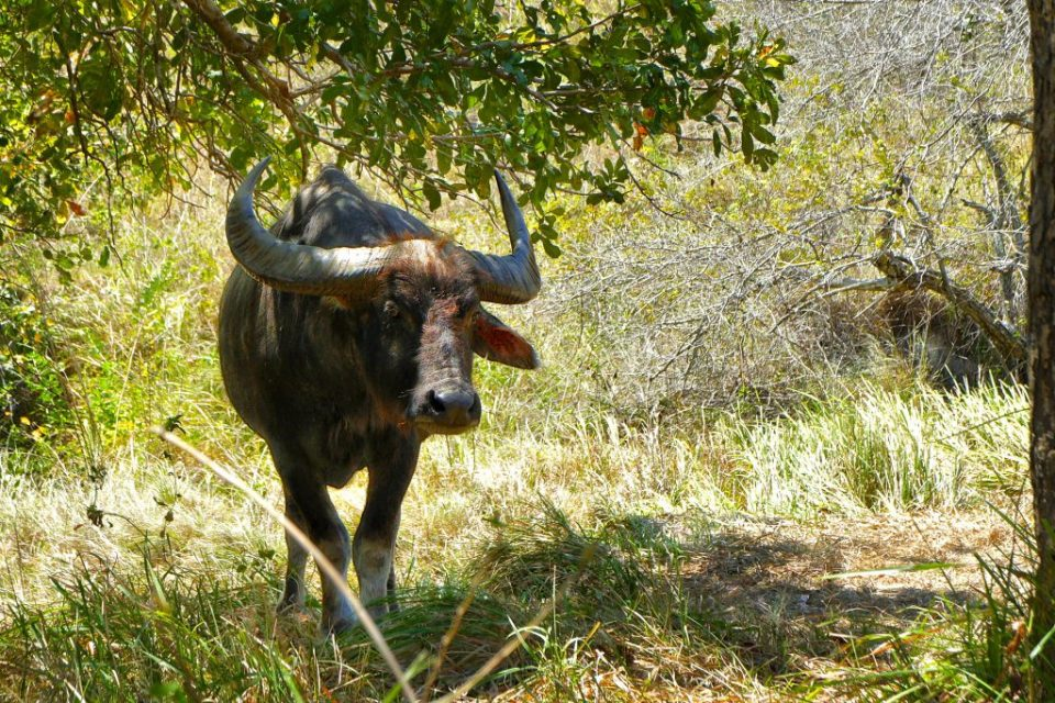 Water buffalo in a dry forest of Rinca island