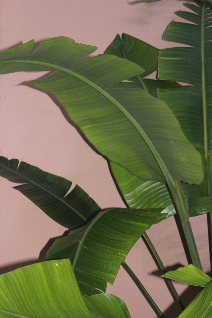 palm leaves against pink wall