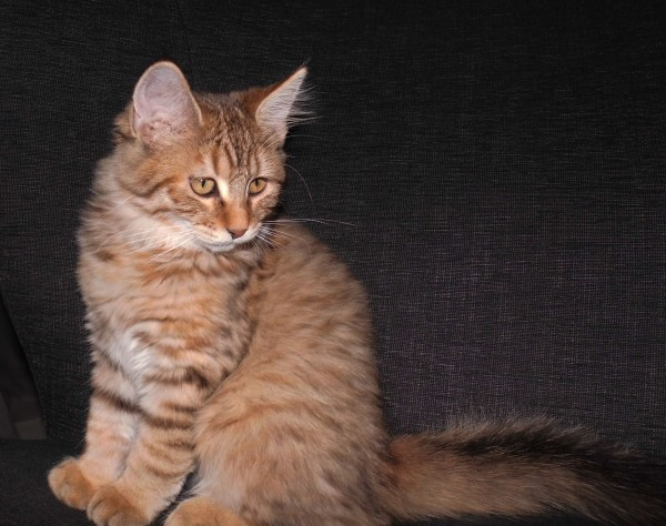 mittens-cutest-pixiebob-kitten-14-18-weken-3