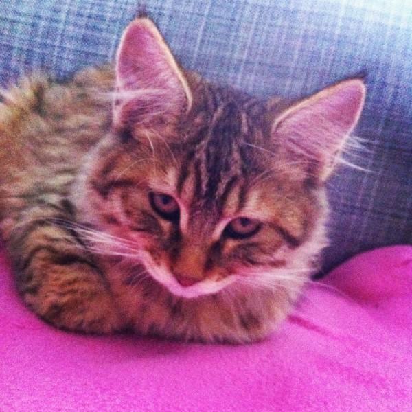 Instagram Kitten Mittens cute pixiebob 1