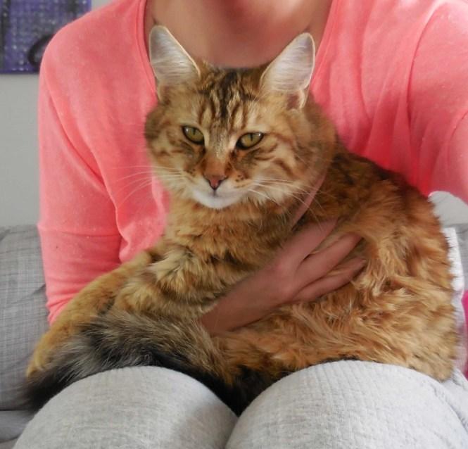 Mittens-cute-pixiebob-kitten-11-maanden-oud-funny-8