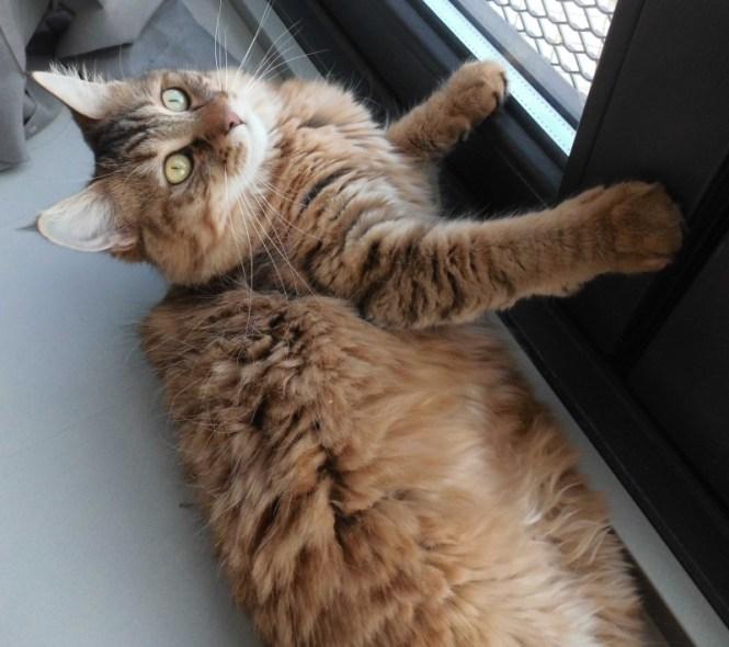 update-mittens-pixiebob-kat-cat-2