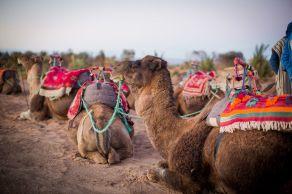 camels, desert, morocco, sand, dunes