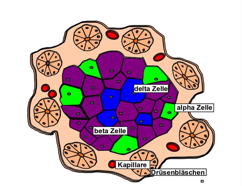 Beta-Zelle der Bauchspeicheldrüse