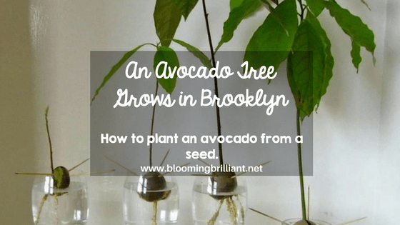 An Avocado Grows in Brooklyn- How to Plant an Avocado from a Seed
