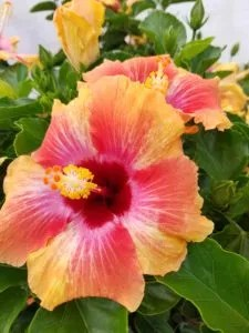 Mothers Day Gift Idea: Flowring Hibiscus Tree