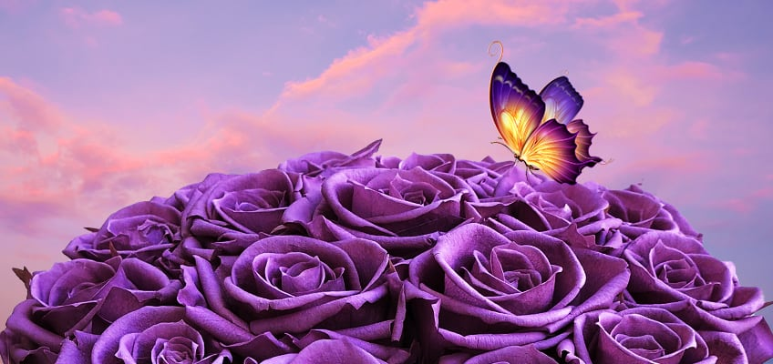 What Do Purple Roses Mean Learn All About The Symbolism Of Purple