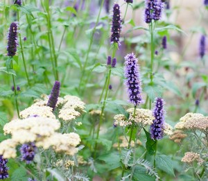 agastache_and_achillea