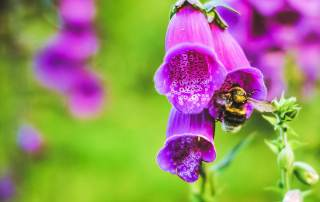 Foxgloves are poisonous plants