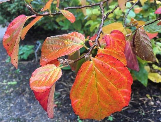 Autumn leaves of Fothergilla