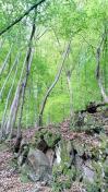 Der Wald frisch ergrünt