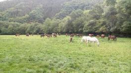 35 Pferde auf einer Weide