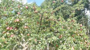 Apfelbäume am Waldrand