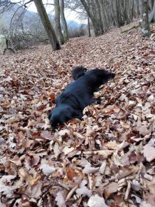 Doxi liebt es, im Laub zu stöbern