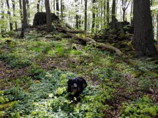 Oben auf dem Stallberg: Reste eines eiszeitlichen Ringwalls und geologische Aufschlüsse des Basaltgesteins