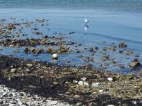 Eine Möwe such im flachen Wasser nach Nahrung