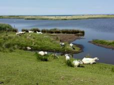 Fehmarn: Schafe am Süßwassersee