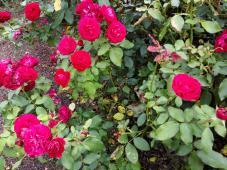 Rosen bei der Rosenzucht Weinsberg