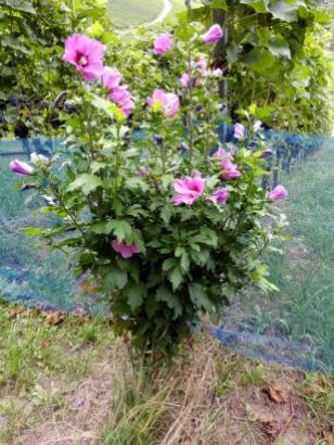 Vor vielen Reihen mit Rebstöcken blühen Rosen oder andere Blumen