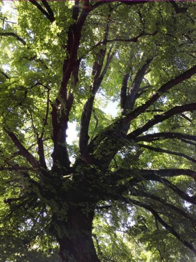 Schöne alte Eichen stehen am Waldrand