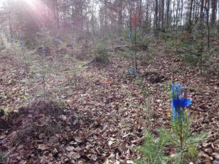Junge Tannen mit blauen Schutzkappen gegen Wildbefraß