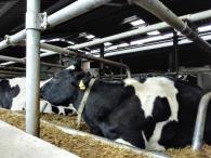 Wir laufen an offenen Stallungen mit Milchvieh vorbei