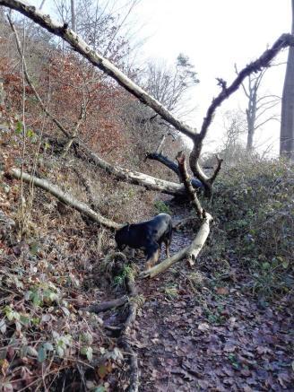 Zahlreiche umgestürzte Bäume blocken den Wanderweg ...